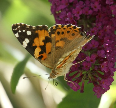 The Painted Lady is stronger coloured when young