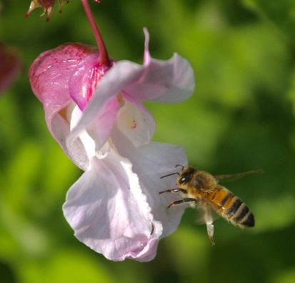 A Bee approaches the landing platform.