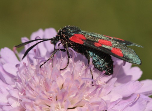 The Six Spot Burnet Moth, showing the burnished, iridescent warning colours on its body and wings