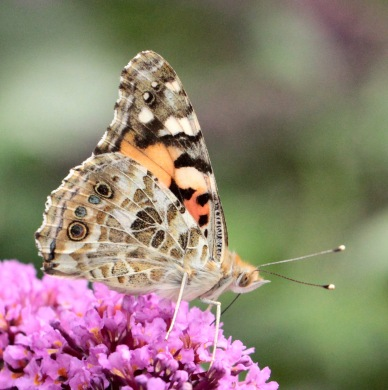 Female Painted Lady