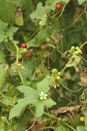 The berries turn from green to red. They are poisonous.