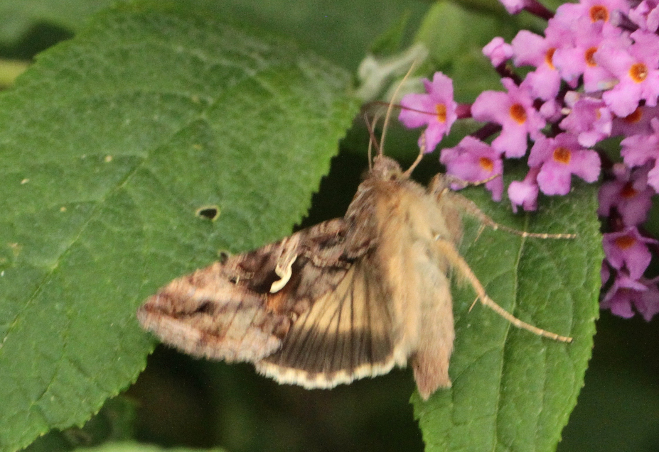 Silver Y Moth | Sheffield city nature diary by Penny Philcox