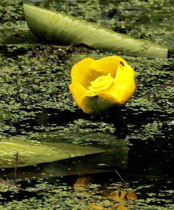 Yellow Waterlily, also known an Spatterdock or Brandy Bottle