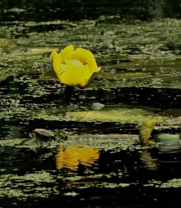Native Yellow Waterlilies hold their heads above water-level