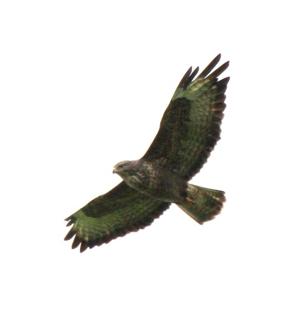 One of 3 Buzzards which circled big overhead, mewing constantly.