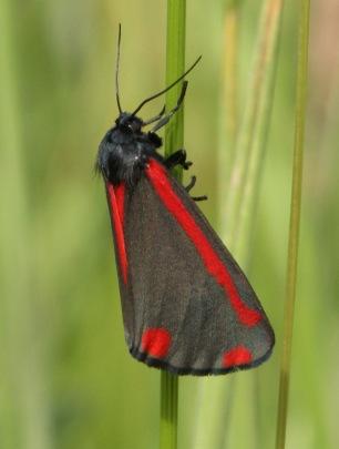 The Cinnabar Moth