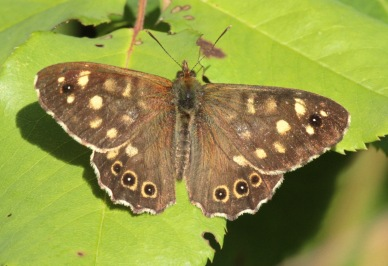 Speckled Wood in our Sheffield garden