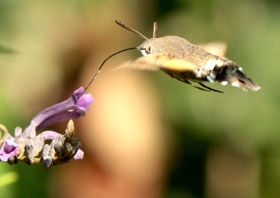 This moth hovers while feeding through its extra long proboscis
