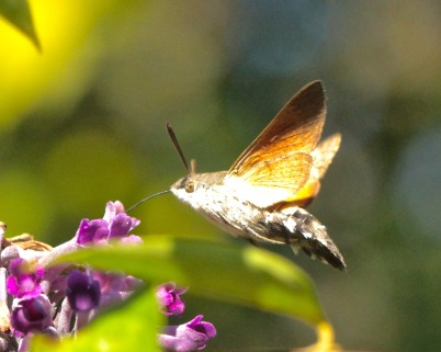The Hummingbird Hawkmoth shivering, showing its burnished orange wings