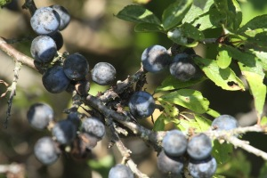 A good crop of Sloes