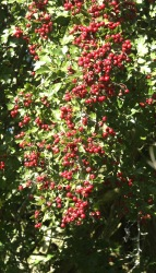 Haws ripening on the Hawthorn bush