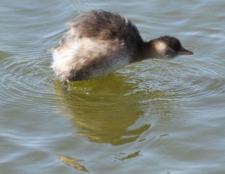 The Little Grebe shales itself to dry off
