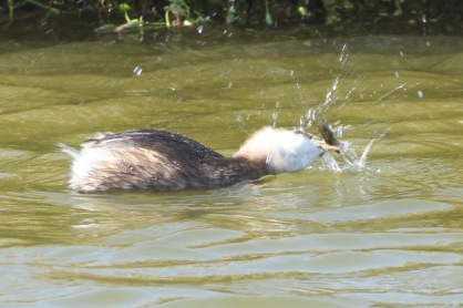 Little Grebe vigorously shaking the Stickleback to subdue it