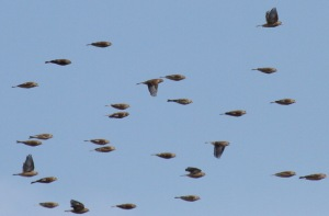A flock of Linnets in the distance