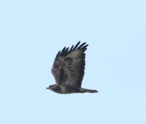 Another of the East Sussex Buzzards