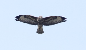 One of the 13 Buzzards near Hooe