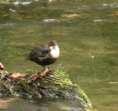 Dipper with its third eyelids over its eyes