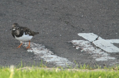 The only things ignoring the keep clear road sign were the Turnstones, scavenging for insects at high tide.