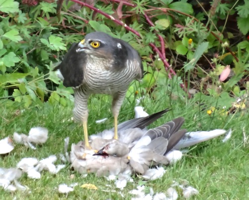 Lynn photographed this Sparrowhawk eating a Collared Dove in the garden