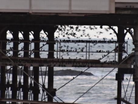 A small group of starlings settling under Aberystwyth pier where they roost in thousands in winter