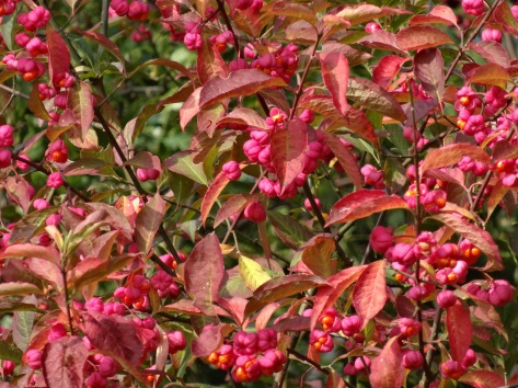 Spindle tree in the wild in the Weald in autumn