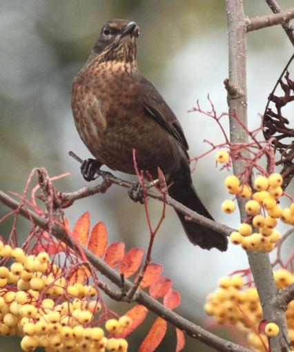 Female Blackbird feeding on the Rowan