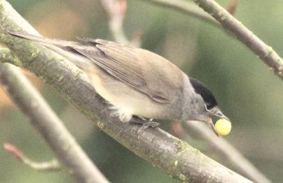 Male Blackcap eating a Joseph Rock Rowan berry