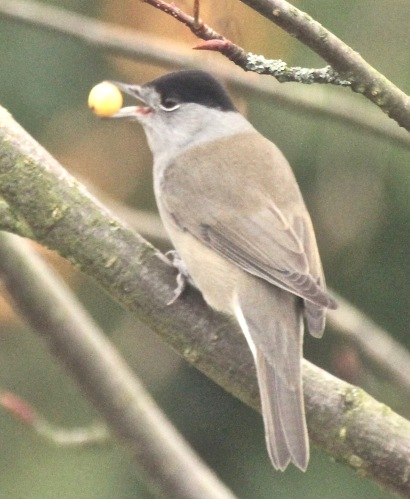 Male Blackcap feeding