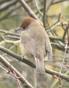 Female Blackcap with its chestnut cap