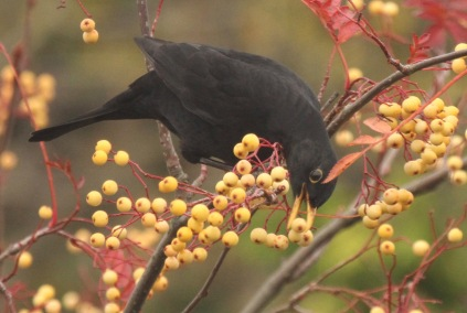 Male Blackbird feeding on bRowan
