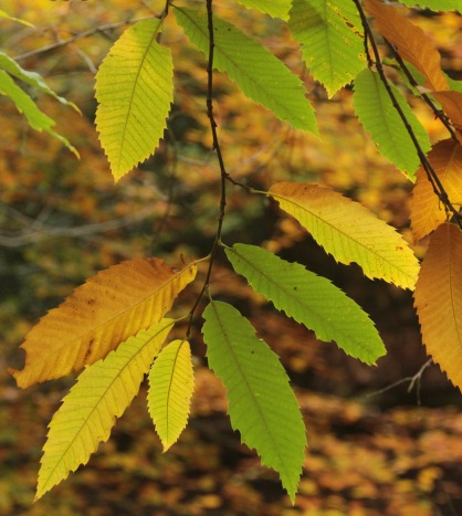 The toothed leaves of Sweet Chestnut turn beautiful colours in autumn