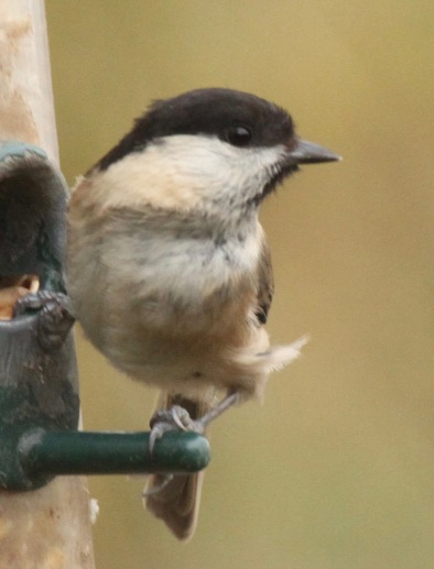 Willow Tit showing the black cap and pale cheek