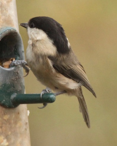 Willow Tit showing the long black 'helmet'