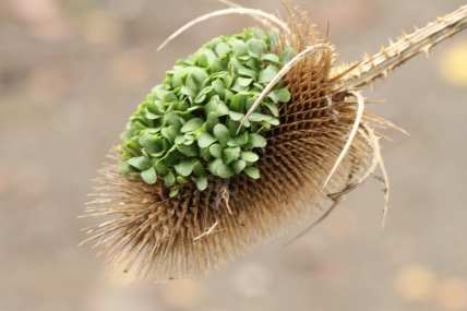 Teasel head germinating its own seeds