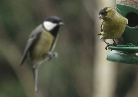 Siskin keeping a bigger Great Tit at bay
