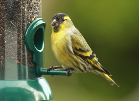 Male Siskin, with black bib and cap