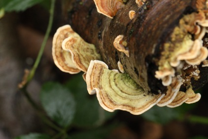 Many Zoned Polypore