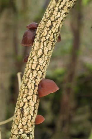 Jelly Ear fungus on Elder