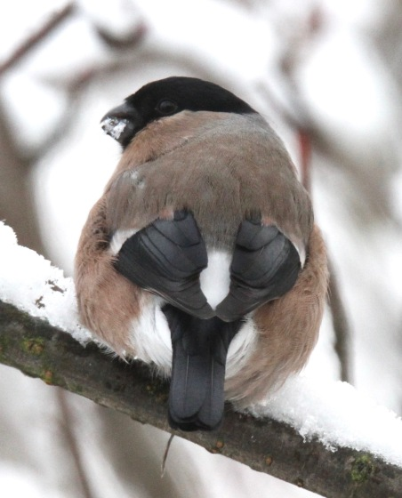 This female Bullfinch was really busy eating the snow on the Rowan branch
