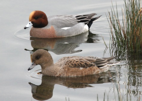 A pair of Wigeon at Old Moor
