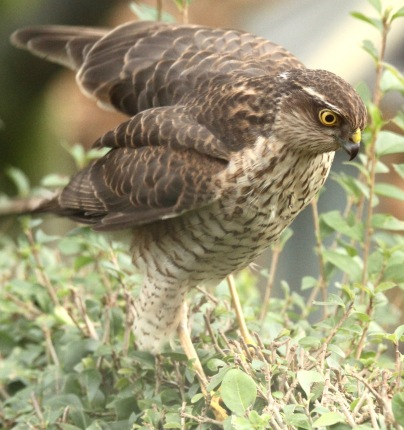 Sparrowhawk wobbling on the hedge