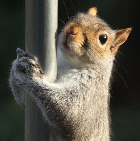 Squirrel- sliding