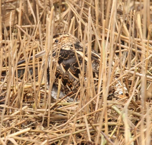 Snipe camouflaged and at rest