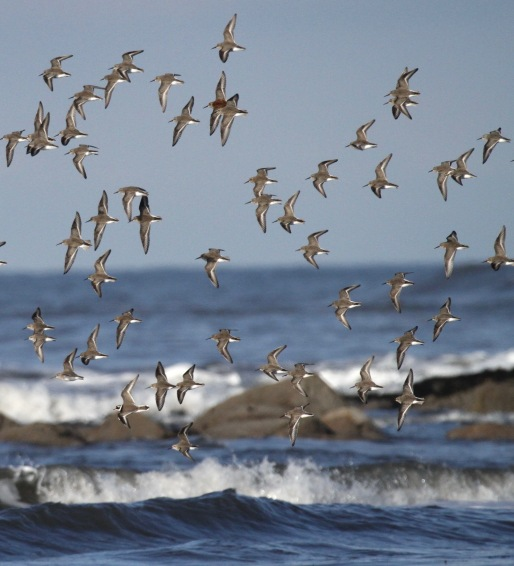 One Ringed Plover among a flock of Dunlin.