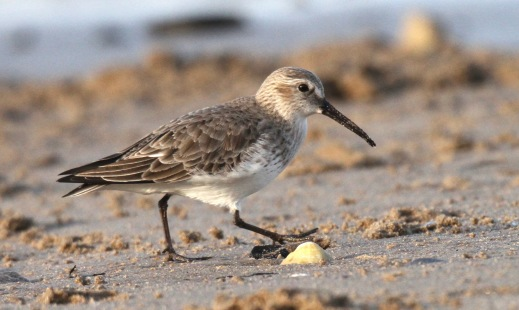 Dunlin- winter plumage