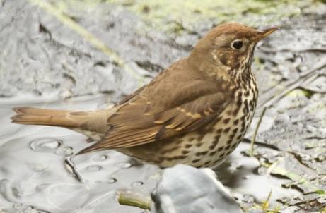 Song Thrush showing arrow-shaped markings