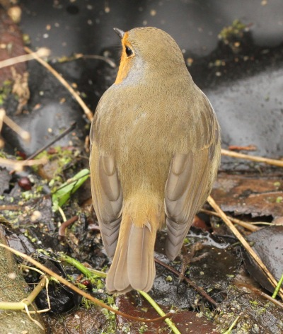 Robins are a light, yellow-brown colour on their backs