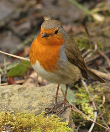 Like Robins everywhere, this one turned up every time I exposed fresh mud