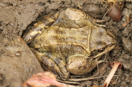 Frog, flattened for hibernation
