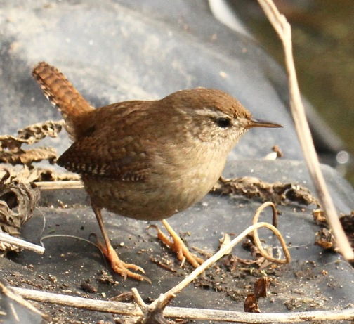 Wren, showing its pale eye-stripe and chequered pattern on wing edge and tail